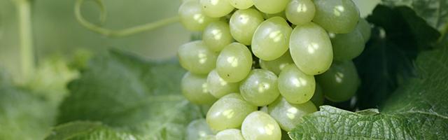 Polifenóis de grainhas de uva